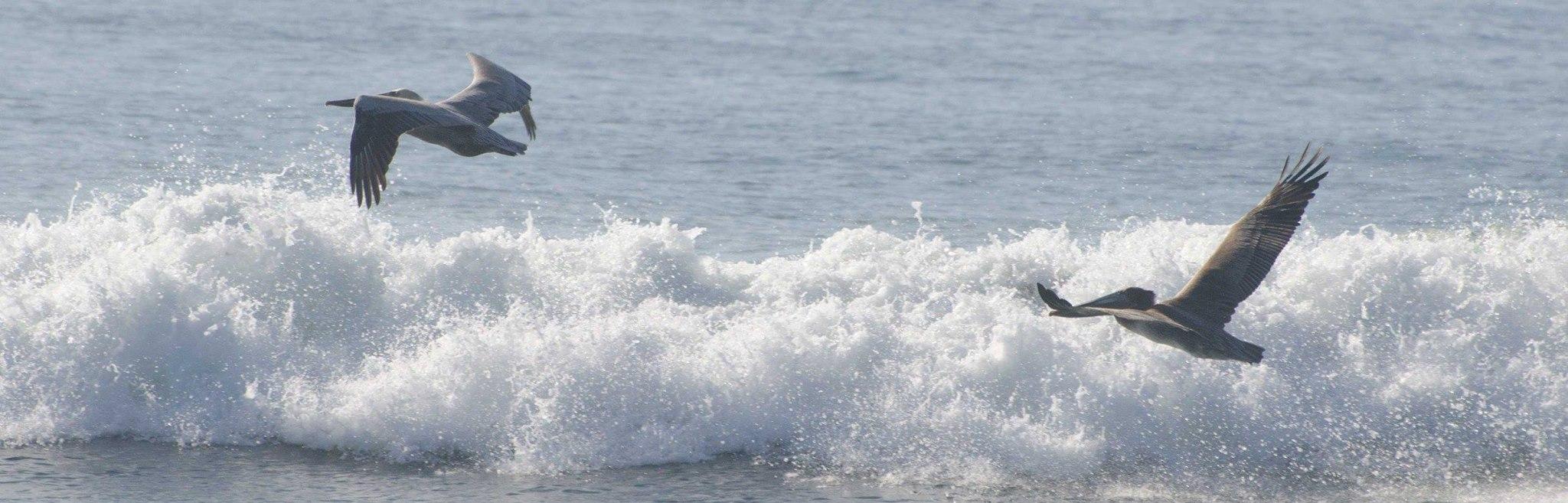 Pelicans at Ocean Beach