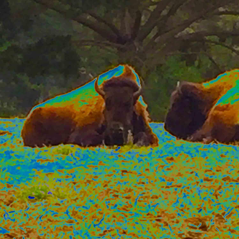 Psychoactive bison